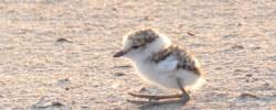 Imatge de Valoració de la nidificació del corriol camanegre a Cunit 2