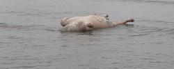 Imatge de Apareix a la platja de Cunit un exemplar boví en descomposició 11
